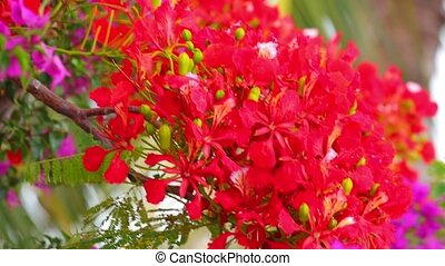 Flame Tree Vibrant Red Flowers HD Stock Footage
