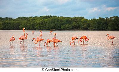 flamencos, en, río, lagartos, biosfera, reserva, yucatán,...