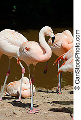 flamingó, álló