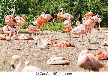 flamingó, madarak, álló, alatt, egy, liget