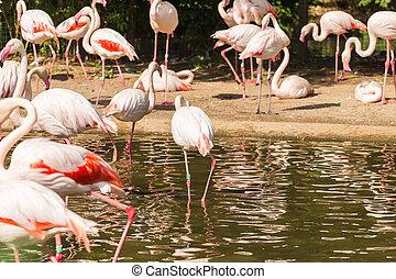 flamingó, madarak, álló, alatt, víz