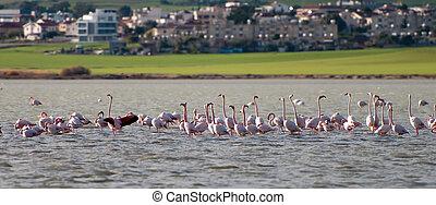 flamingó, madarak, képben látható, egy, tó, larnaca, ciprus