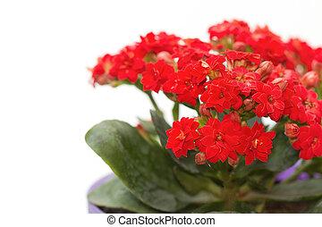 Flaming Katy flower blossom in flower pot, house plant