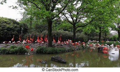 Flamingo at Shanghai zoo. Slow Motion Footage.