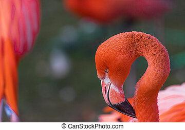 flamingo bird close up on a meadow