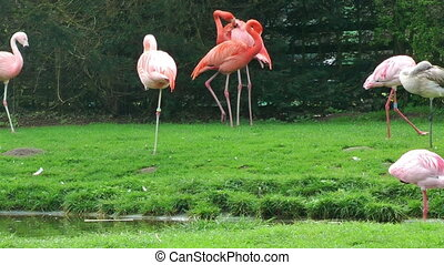 Flamingo birds on grass near lake
