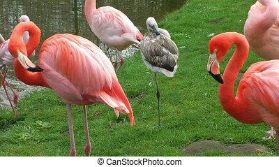 Flamingo birds on green meadow