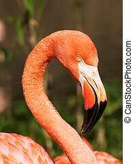 flamingo, caribean