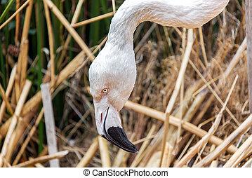 Flamingo Closeup