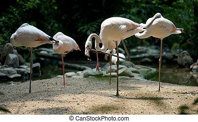 flamingo, dierentuin