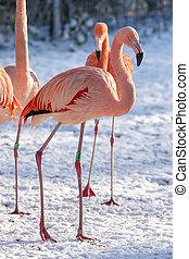 flamingo, em, a, neve