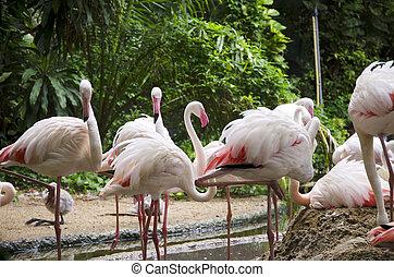 flamingo, fåglar