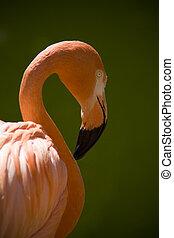 Flamingo (Freshwater Bird) (shooting at zoo)