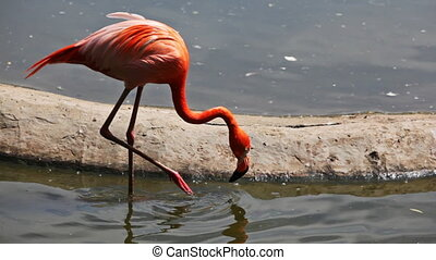 flamingo goes on water near other flamingos, panorama from...