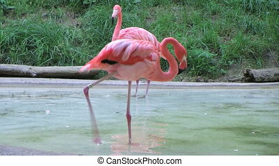 Flamingo Grooming - Flamingo uses its long neck for...
