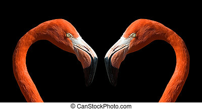 Flamingo in love... - Wild flamingos. The birds are...