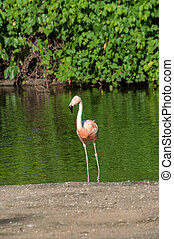 flamingo is finding fish