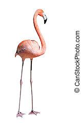 flamingo., isolato, sopra, bianco