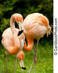 flamingo pair at zoo