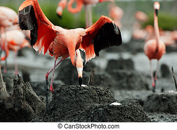 Flamingo (Phoenicopterus ruber) colony. - Colony of Great...