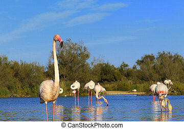 Flamingo pink on a lake in the wild with a flock