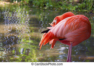 Image of a flamingo preening his feathers. The bird is standing on two legs with its beak buried in its feathers