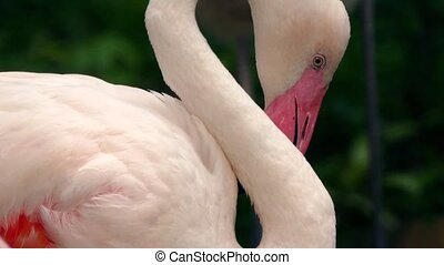 Flamingo Preening With Bendy Neck - Closeup of flamingo...