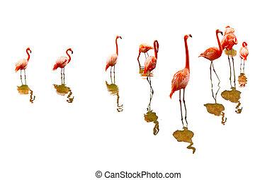 flamingo, reflectie