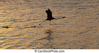 Flamingo right before takeoff at lake Gotomeer, Bonaire