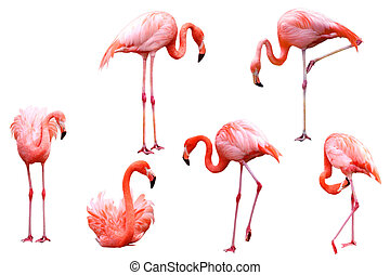 Set of red flamingo birds isolated on white background