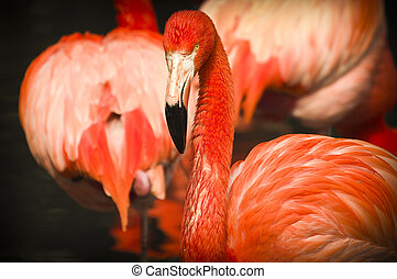 Flamingo. The American flamingo (Phoenicopterus ruber) in a...