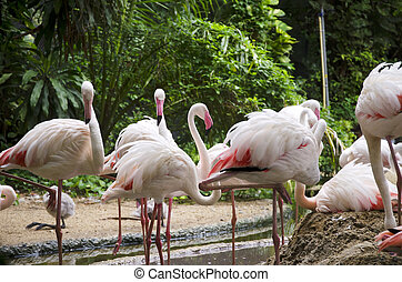 flamingo, vögel