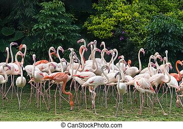 flamingo, vogels, staand