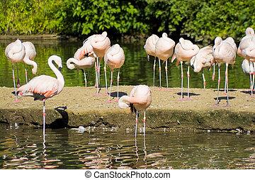 flamingo, vogels