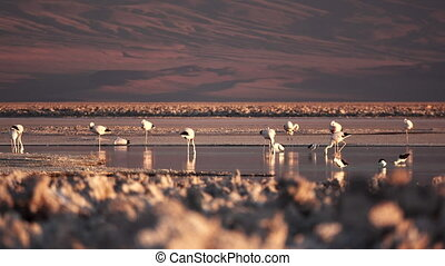 flamingoes, sel, espace, texte, lac
