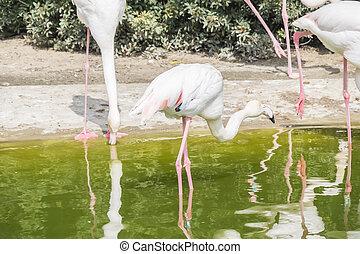 flamingor, vila på, den, kust, av, a, damm