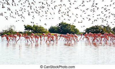Group of flamingos near Rio Lagartos, Mexico with a flock of royal terns flying in the background