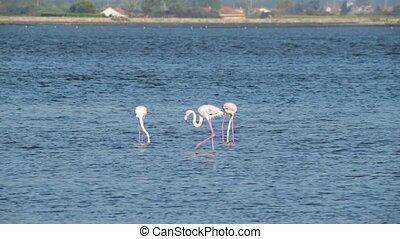 Flamingos at Ria de Aveiro delta - Flamingos on the banks of...