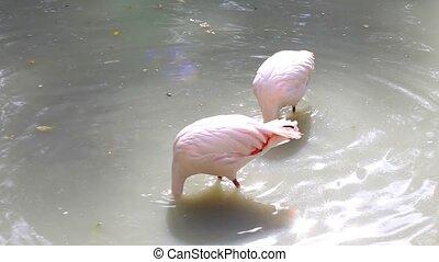 Flamingos eating in lake