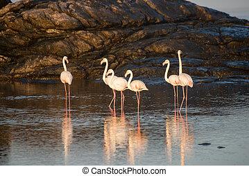 Flamingos in a tidal pool