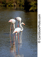 Flamingos in Camargue in the vicinity of Saintes-Maries-de-la-Mer in Languedoc-Roussillon.