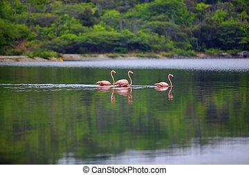 Flamingos in Lake Gotomeer on Bonaire, Caribbean