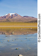 Flamingos on lake Huayñacota with the snowcapped volcano Anallajchi the background. Bolivia.