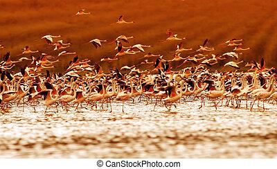 flamingos, pôr do sol, africano