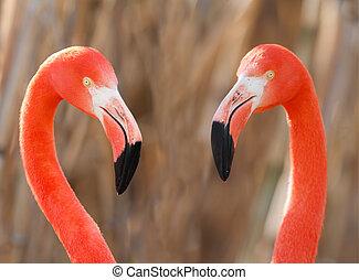 Flamingos pair