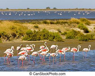 flamingos, Parc Regional de Camargue, Provence, France