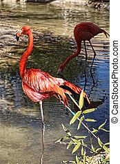 Flamingos (Phoenicopterus rubus)