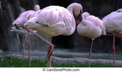 flamingos - pink flamingos colony near a waterfall