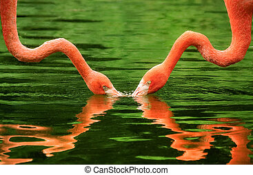 Flamingos symmetrically reflected on water