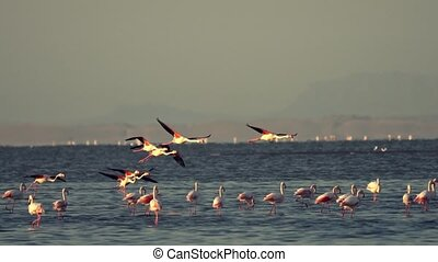 Flamingos take flight in marsh in Walris, Namibia